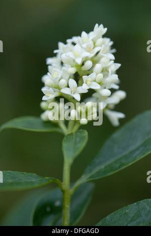 wild privet, ligustrum vulgare - Stock Photo