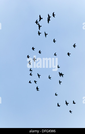 Birds in Flight Cornwall UK Credit: David Levenson/Alamy - Stock Photo