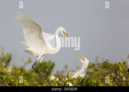Great White Egret (Ardea alba) pair at the nest - Dit Dot Dash, Florida. - Stock Photo