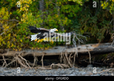 Bald Eagle (Haliaeetus leucocephalus) In flight along a salmon River, Chilcotin wilderness, British Columbia, Canada - Stock Photo