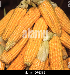 Fresh yellow corn pile on the local market. Crop Background - Stock Photo