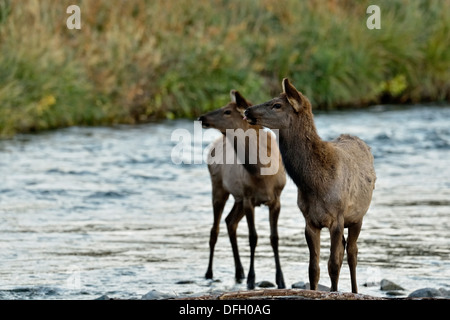 Elk, wapiti Cervus elaphus Calf wading in the Gardner River Yellowstone National Park Wyoming USA - Stock Photo