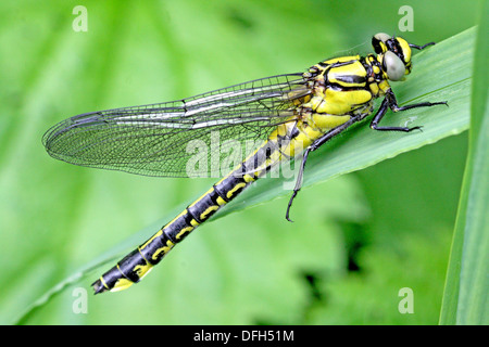 Emerging Common Clubtail, Gomphus vulgatissimus on grass From, side Eyes grey Males will turn green as they mature - Stock Photo