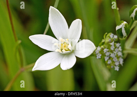 Pyrenes Star of Bethlehem, Ornithogalum umbellatum, Caryophyllaceae  Sleepydick  Small white wild flower  Toxic - Stock Photo