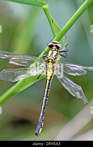 Emerging Common Clubtail, Gomphus vulgatissimus clings to grass  Dragonfly with very badly damaged wings after emerging - Stock Photo