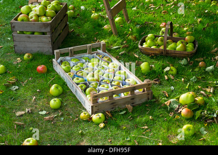 Bramley apples, trays and trug of freshly picked apples, England, October, - Stock Photo