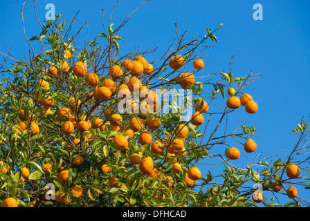 Oranges on tree in San Pasqual Valley, San Diego County, California - Stock Photo