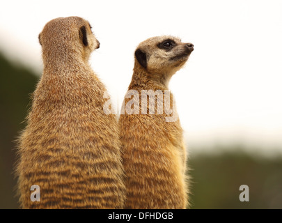 A mother and baby Meerkat taking in the view. - Stock Photo