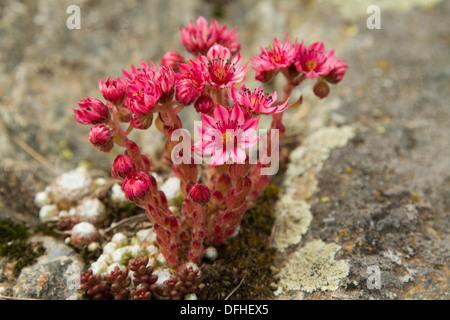 Cobweb Houseleek (Sempervivum arachnoideum) - Stock Photo