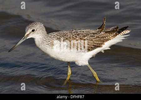 Common Greenshank (Tringa nebularia) - Stock Photo