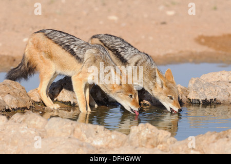 Black-backed jackals (Canis mesomelas), drinking at waterhole, Kgalagadi Transfrontier Park, Northern Cape, South - Stock Photo