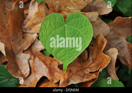 Green heart-shaped leaf stands out among brown, dry leaves - Stock Photo