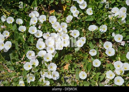 Field Bindweed, Convolvulus arvensis, White variant, Wildflowers, Dorset, England - Stock Photo