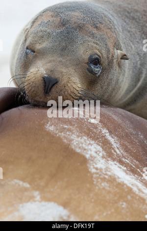 Galapagos Sea Lions (Zalophus wollebaeki) - Espanola Island, Galapagos Islands. - Stock Photo