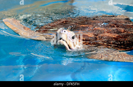 Green Sea Turtle, Chelonia mydas, puts its head above water to breathe. Australia - Stock Photo