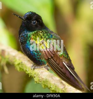 Velvet-purple Coronet Hummingbird (Boissonneaua jardini) - Mindo, Ecuador. - Stock Photo