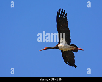 Black stork, Ciconia nigra flying - Stock Photo