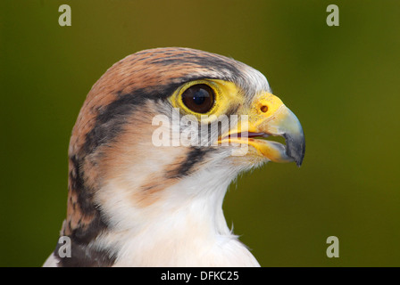 Lanner Falcon,Falco biarmicus, Close-up - Stock Photo