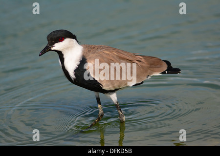 Spur-winged Lapwing, Spur-winged Plover, Vanellus spinosus - Stock Photo