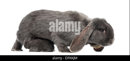 Side view of a Lop-eared rabbit and young rabbit against white background - Stock Photo