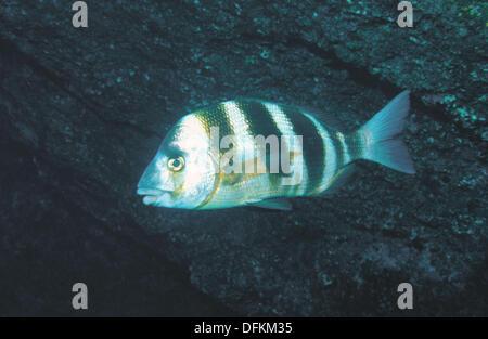 Zebra Sea Bream (Diplodus cervinus) - Stock Photo