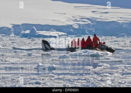A young adult Pack Ice Type B killer whale Orcinus orca spy-hopping near a Zodiac in Dorian Bay 64º 46 85´ S 63º - Stock Photo