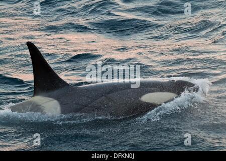 A large bull Gerlache Type B killer whales Orcinus orca traveling and socializing in Gerlache Strait 64º 40 0´ S - Stock Photo