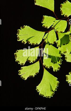 Maidenhair fern (Adiantum capillus-veneris) - Stock Photo
