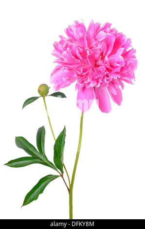Pink peony flower isolated on white background - Stock Photo