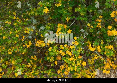Field Maple (Acer campestre) in autumn, upper Rudron river, Hoces del Alto Ebro y Rudron Natural Park, Burgos province, - Stock Photo