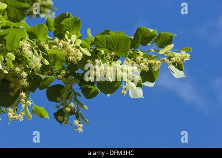 large-leaved linden, tilia platyphyllos - Stock Photo