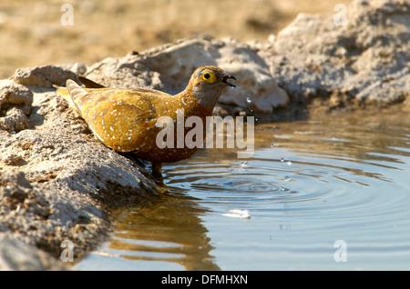 Namaqua Sandgrouse Pterocles namaqua - Male, in the waterhole, Mabuasehube, Kgalagadi Transfrontier Park, Kalahari - Stock Photo