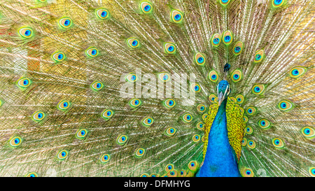A beautiful male peacock showing off its colorful feathers - Stock Photo
