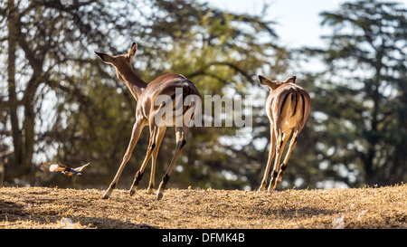 A shot of two Springboks as they are running away taken at Pilanesberg National Park in South Africa - Stock Photo