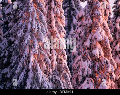 Snowcovered spruceforest (Picea abies) in direct light. Gammelboliden, Västerbotten. Sweden - Stock Photo