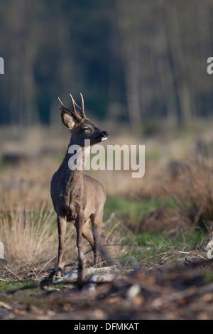 Roe deer at the Sallandse Heuvelrug National Park - Stock Photo