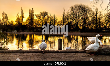 White ducks on the golden colored zoo lake lit by the setting sun - Stock Photo