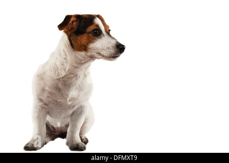 A young Jack Russell Terrier on a white background - Stock Photo