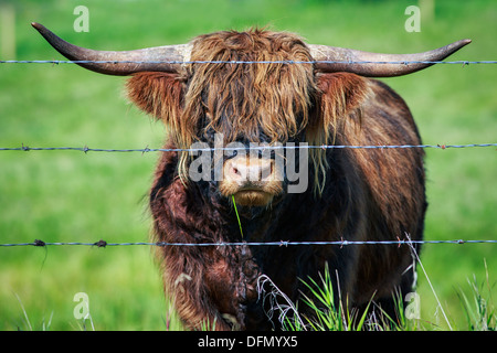 Portrait of Scottish Highland Cattle behind barbed wire, Kananaskis Country, Alberta, Canada - Stock Photo