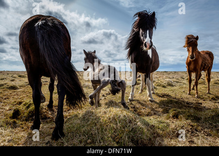 Newborn foal taking his first steps, Iceland.  Iceland purebred horse. - Stock Photo