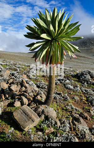 giant Lobelia on the Sanetti Plateau, Bale Mountains National Park, Oromia, Ethiopia, Africa - Stock Photo