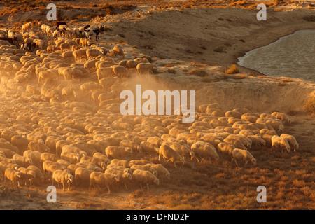 Flock of sheep in the desert Bardenas Reales, UNESCO Biosphere Reserve, Province of Navarra, Northern Spain, Spain, - Stock Photo