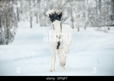 Gypsy Vanner Horse weanling colt - Stock Photo