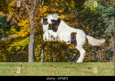 Gypsy Vanner horse weanling rearing up - Stock Photo