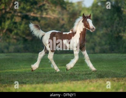Gypsy Vanner Horse foal filly trots - Stock Photo