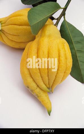 Fingered citron, Budda´s hand (Citrus medica var. Sarcodactylus). Califonnia. USA - Stock Photo