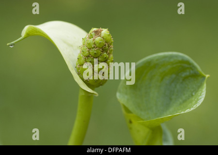 water arum, calla palustris - Stock Photo
