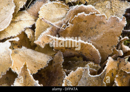 Autumn leaves. Fallen birch and poplar leaves with frost. Sudbury, Ontario - Stock Photo