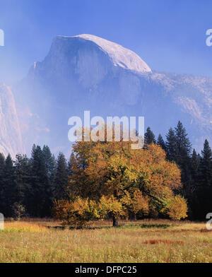 Half Dome and American Elm tree in fall, Yosemite National Park, California, USA - Stock Photo