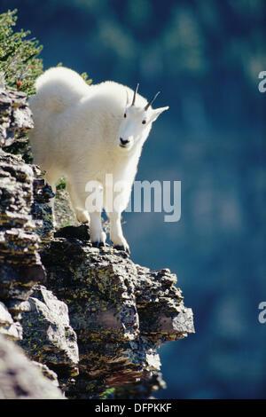 Mountain Goat (Oreamnos americanus) yearling in Logan Pass, Glacier National Park. Montana. USA - Stock Photo